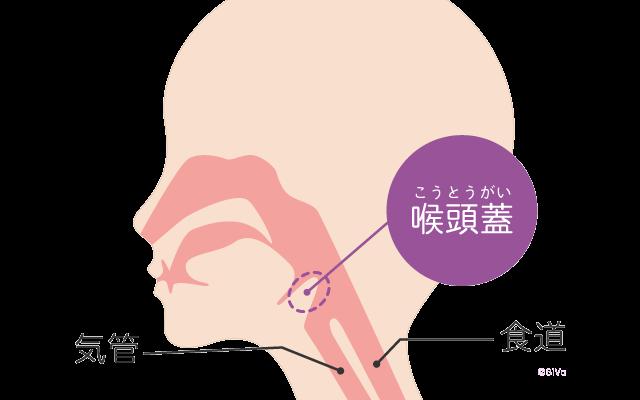 食べ物や飲み物、唾液がのどを通るときに気管にフタをする役割の「喉頭蓋(こうとうがい)」